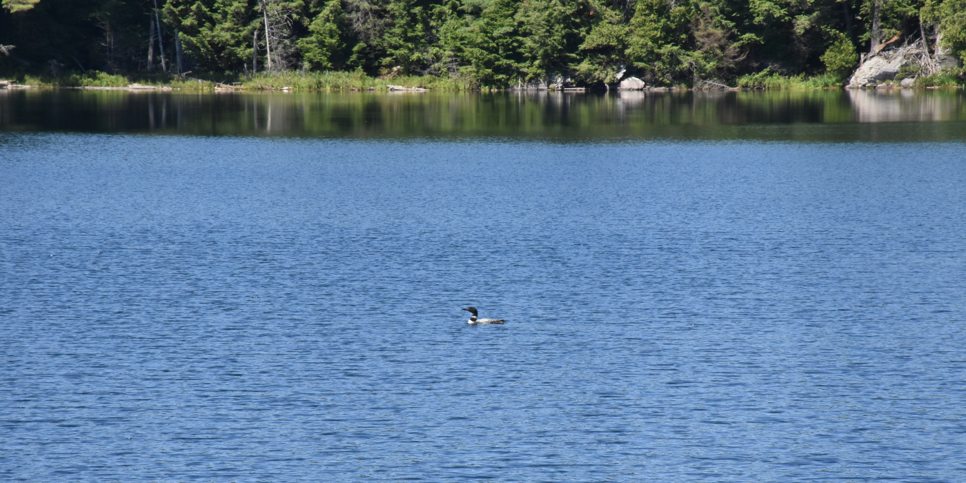 A solitary loon out on a lake